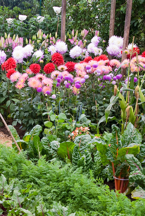 Vegetable Growing with Flowers, Giant dahlias variety including cactus types, pom poms, lilies Lilium, leeks, beets, chard, carrots, corn. Edibles planted together with flowers
