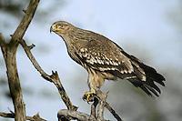 Eastern Imperial Eagle - Aquila heliaca
