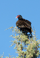 Vulture - Turkey