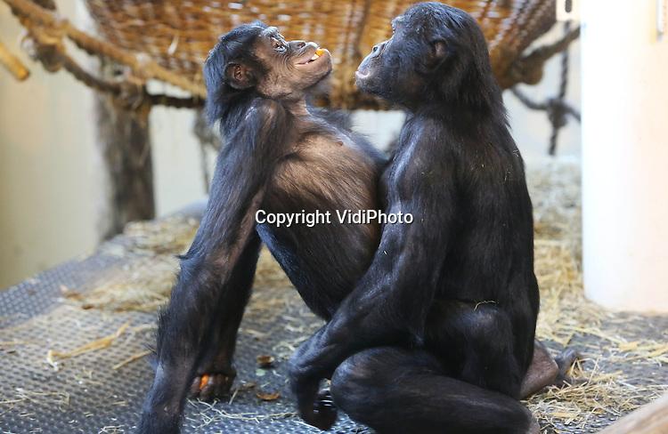 Foto: VidiPhoto<br /> <br /> APELDOORN - Een welkomsfeestje voor de nieuwe bonobo Besede van Apenheul in Apeldoorn donderdag. Leerlingen van de Martin Luther Kingschool in Apeldoorn maakten donderdag samen met verzorgers een gezonde groente- en fruittaart voor het zevenjarige vrouwtje. Besede is naar Apenheul gekomen in het kader van het Europese fokprogramma. Het dierenpark heeft &eacute;&eacute;n van de grootste bonobogroepen van Europa en is de enige dierentuin in Nederland met deze zeldzame dieren. Foto: De afterparty.