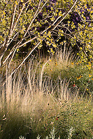 Naturalistic xeriscape low water use meadow landscaping in New Mexico garden with New Mexico Privet (Forestiera neomexicana) shrub tree and Threadgrass (Nassella tenuissima)