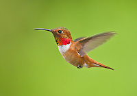 Profile of a male rufous hummingbird in flight.<br />
