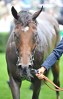 30.07.2013 Goodwood, England. Ascription cooling down after winning 16:50 HANDICAP 1m during day one of the at Glorious Goodwood Festival.