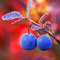 Ripe blueberries in autumn, Denali National Park, Alaska