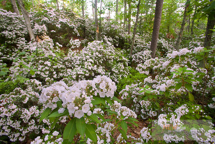 Mountain Laurel wildflowers, Pine Barrens, New Jersey