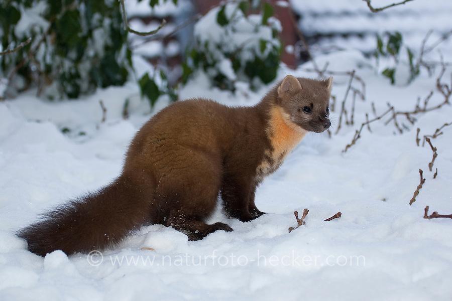 Marder Im Winter
