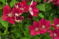 Clematis Ernest Markham, red flowers