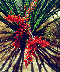 USA, California, Anza Borrego Desert State Park, Ocotillo Flowers