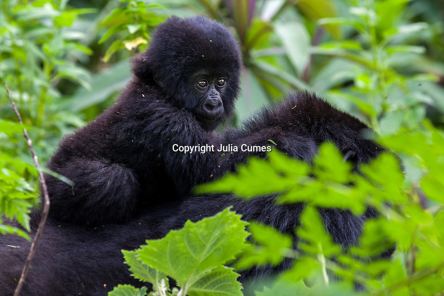 A three month-old infant is seen through the dense vegetation riding on his mother's back in the jungle of Rwanda's Virunga Mountains.