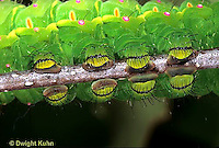 LE12-121x   Luna Moth - caterpillar feet close-up - Actias luna