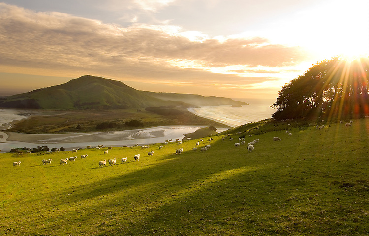 Sunrise on the Otago Peninsula looking across to Hoopers Inlet and Allans Beach. Sheep grazing in the foreground, South Island, New Zealand - stock photo, canvas, fine art print