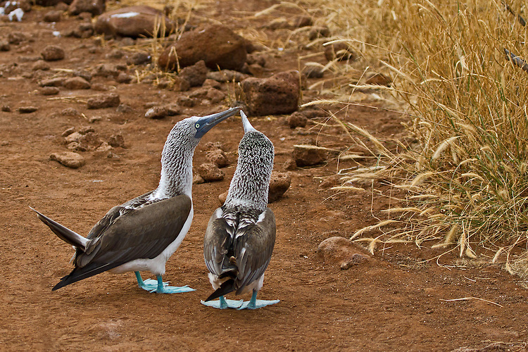 Blue-footed Boobys kissing by touching the tips of their beaks together against the straw-filled, red sands of Rabida Island.