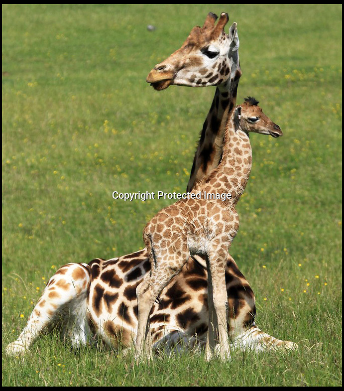 BNPS.co.uk (01202 558833)<br /> Pic: IanTurner/BNPS<br /> <br /> 2 hour old giraffe pictured at Longleat.<br /> <br /> An endangered baby giraffe definitely made an impact when it was born - because it plummeted six feet to the floor.<br /> <br /> But despite the shocking start for the youngster, it managed to shakily get up onto its feet within minutes and take its first wobbly first steps.<br /> <br /> The giraffe's mother, Becky, kept a close eye on the cute calf as it staggered around on the grass and protectively nuzzled it as they were surrounded by members of the herd.<br /> <br /> And although the baby Rothschild's giraffe may look tiny compared to its19ft mother, it is actually a staggering 6ft 6ins tall already.<br /> <br /> The creature was born at Longleat Safari Park in Wiltshire but keepers do not yet know if it is a boy or a girl as it is too young.<br /> <br /> When fully grown it will reach around the same height as the others in the herd, could weigh up to 200 stone, and reach a top speed of 35 miles per hour.<br /> <br /> The new arrival is the latest success in a breeding programme for the Rothschild's giraffes at the animal attraction.<br /> <br /> The species are on the 'red' endangered list and there are less than 670 left in the wild.