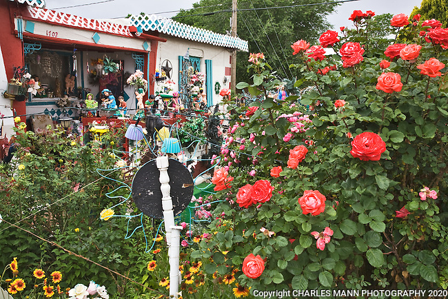 "June roses burst into color at the folk art garden of C.L.""Tunnie""Sharpe and his wife Helen in Santa Fe, New MExico"