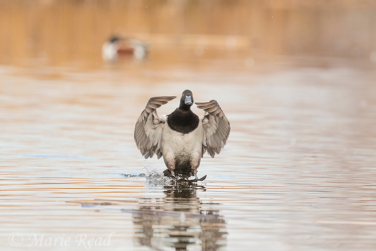 Ring-necked Duck (Aythya collaris), male in breeding plumage flying in to land on water, using feet and wings to brake, Henderson, Nevada.