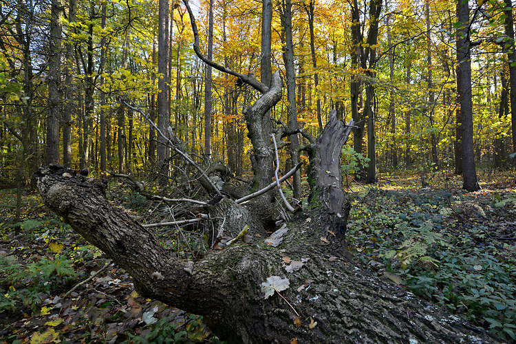 Mature autumn woodland, Stoke Wood, Oxfordshire.