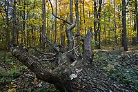 Mature autumn woodland, Stoke Wood, Oxfordshire.