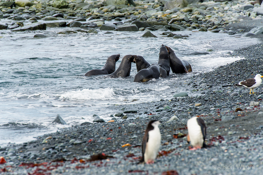 Antarctica expedition aboard the Hurtigruten FRAM ship. Chinstrap penguins and fur seal at Half Moon Island. Half Moon Island is a two kilometer long (1.2 mile), crescent-shaped island in the shadow of the picturesque mountains and glaciers of nearby Livingston Island.