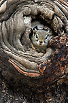 Tree squirrel, Paraxerus cepapi, Kruger national park, South Africa