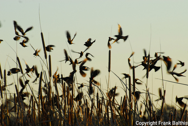 birds in wetland near Sacramento