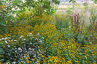 Rudbeckia triloba, Brown Eyed Susan flowering at Denver Botanic Garden, Chatfield in shaded meadow are