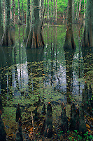 Bald cypress<br />