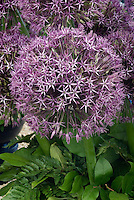 Closeup of Allium Gladiator flower