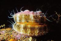Pacific Pink Scallop (chlamys hastata), British Columbia, Canada.
