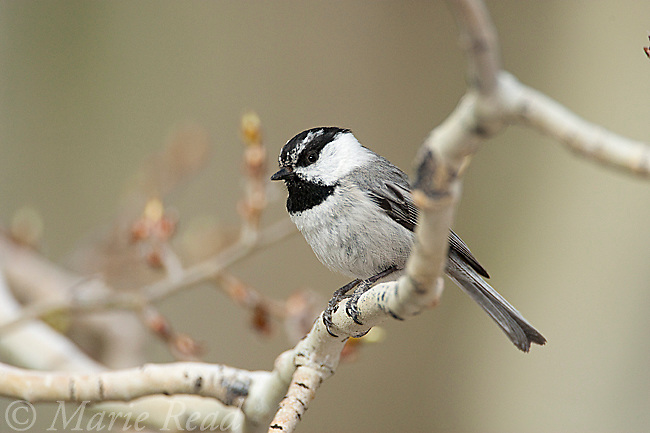 Mountain Chickadee (Poecile gambeli), perched in aspen in early spring, Mono Lake Basin, California, USA
