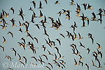 Flock of Black Skimmers (Rynchops niger) and gulls in flight, Florida USA