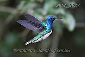 Bob, ANIMALS, REALISTISCHE TIERE, ANIMALES REALISTICOS, wildlife, photos+++++,GBLA3927,#a#, EVERYDAY ,hummingbaird,hummingbirds