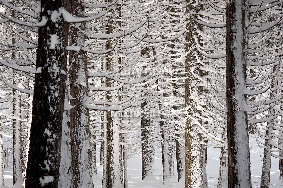 Snow covered tree trunks, Yosemite National Park
