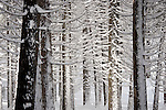 Snow covered tree trunks, Yosemite National Park