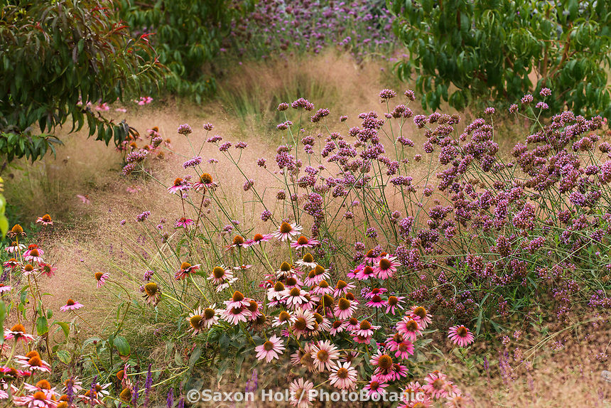 Echinacea purpurea ' Magnus' flowering in perennial border with Verbena bonariensis and Muhlenbergia reverchonii, Ruby muhly grass; Sunset gardens, Cornerstone, Sonoma