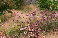 Echinacea purpurea ' Magnus' flowering in perennial border with Verbena bonariensis and Muhlenbergia reverchonii, Ruby muhly grass; Sunset gardens, Cornerstone, Sonoma