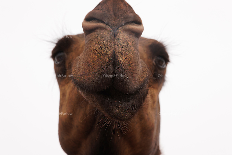 This is the face of a beautiful, happy camel at the Camel Beauty Contest in Abu Dhabi where camels are worth millions of dollars.