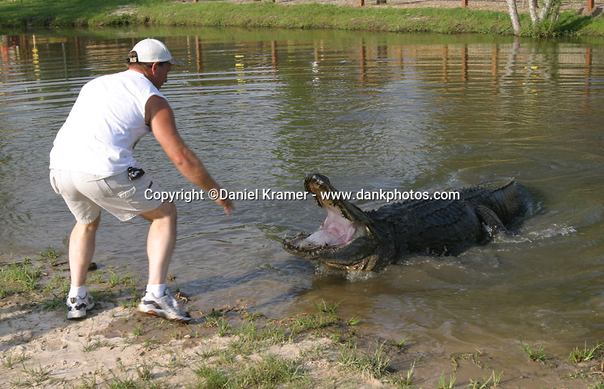 Gary Saurage, owner of Gator Country in Jefferson County, in southeast Texas, coaxes 13-foot Big Al from his lair. A thousand pounds, at least 70 years old, and surprisingly well behaved for an alligator, Big Al is the star attraction of Gator Country, a Jefferson County alligator theme park.