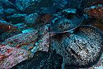 Blotched Fantail Ray, Taeniura meyeni