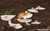 0808-0910  Spring Peeper Frog Climbing on Rotting Log with White Mushrooms, Pseudacris crucifer (formerly: Hyla crucifer)  © David Kuhn/Dwight Kuhn Photography