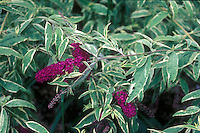 Buddleia 'Masquerade' (variegated Butterfly Bush)