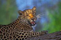 LEOPARD..Africa..(Panthera pardus).