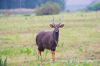 Africa, Swaziland, Malkerns. Milwane Nature Reserve game drive, kudu.