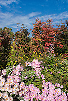Chrysanthemum 'Apricot Single' aka Dendranthema (Korean) with Cornus, Helianthus, Hydrangea foliage in fall autumn color with blue sky and clouds at the New York Botanical Garden, Bronx, NY
