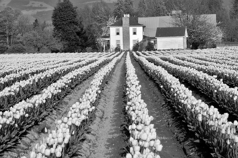 Field of red tulips and farm house. Mt. Vernon. Washington