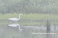 00688-02416 Great Egret (Ardea alba) feeding in wetland in fog, Marion Co., IL