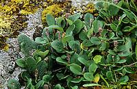Netz-Weide, Netzweide, Weide, Blüten, Salix reticulata, Net Leaved Willow
