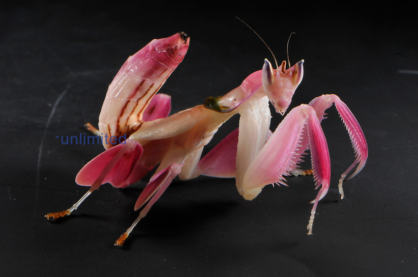 Orchid mantis, Hymenopus coronatus, juvenile on orchis. One of the most perfect camouflage in the animal world. Indonesia.