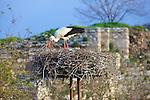 White Stork Working on Nest