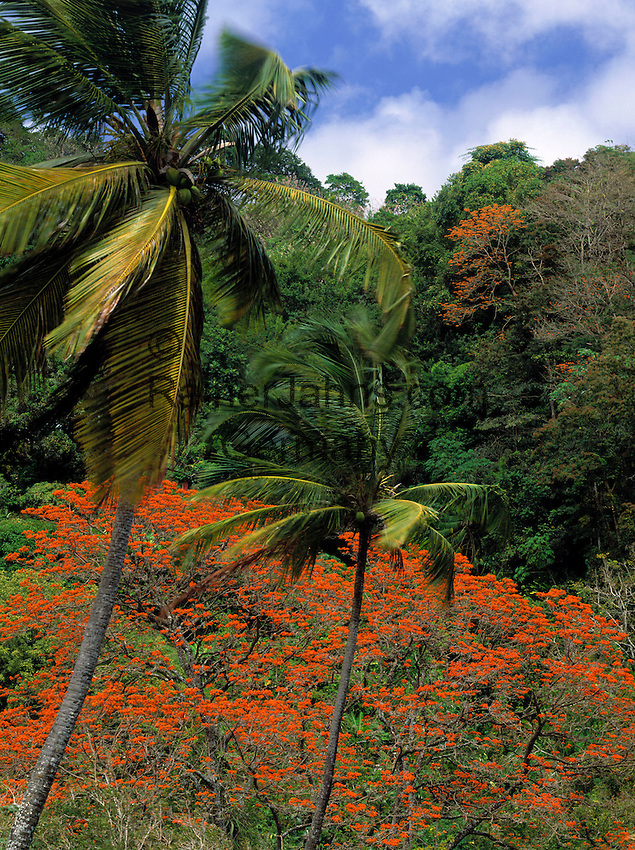 Trinidad & Tobago, Commonwealth, Tobago, Flamboyant tree and coconut tree