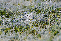 Ermine (Mustela erminea), winter fur, looking out of hole in the ground, meadow with hoarfrost, Bavaria, Germany, Europe